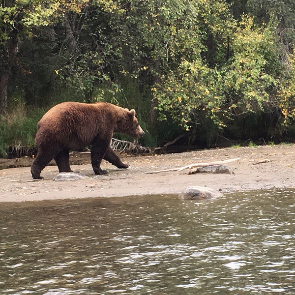 Brown Bear Alaska