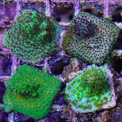 SPS Coral