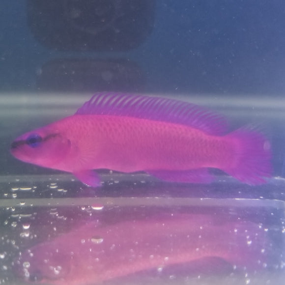 Orchid Dottyback - Captive Bred
