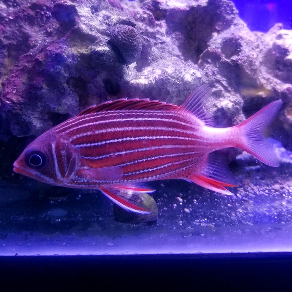 Candy Cane Squirrelfish - DK Reef Treasures