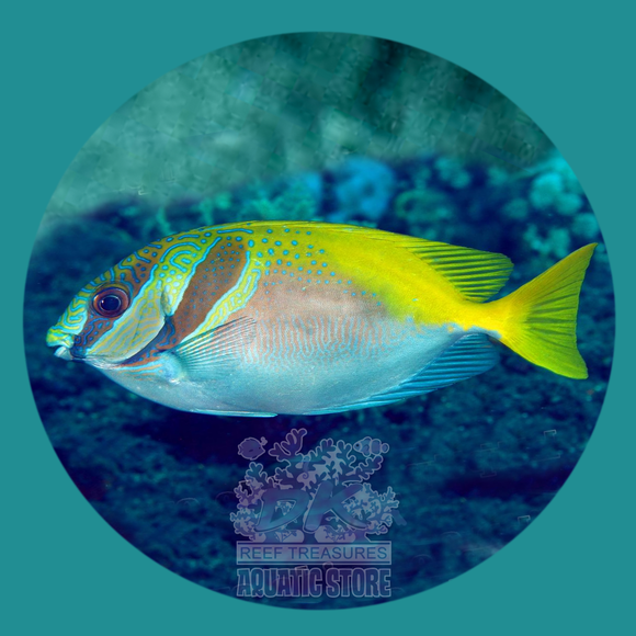 Double Bar Rabbitfish - DK Reef Treasures