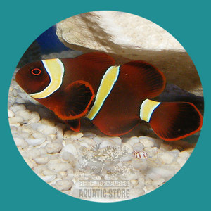 Gold Stripe Maroon Clownfish - Captive Bred