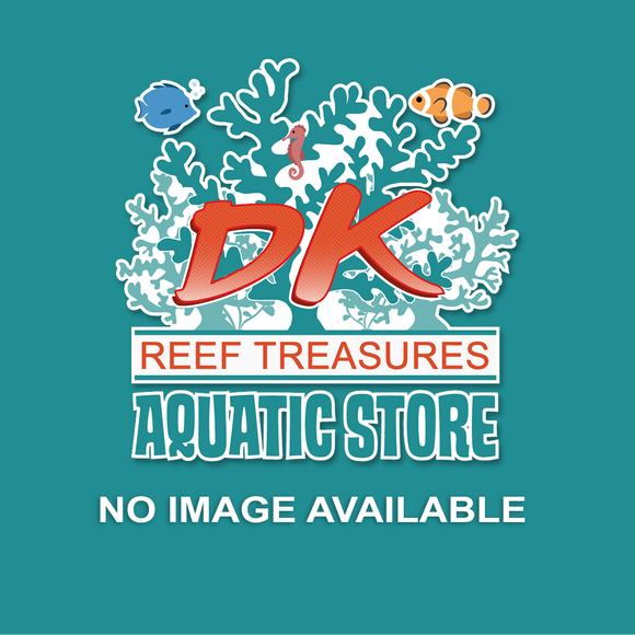 Peacock Mantis Shrimp - DK Reef Treasures