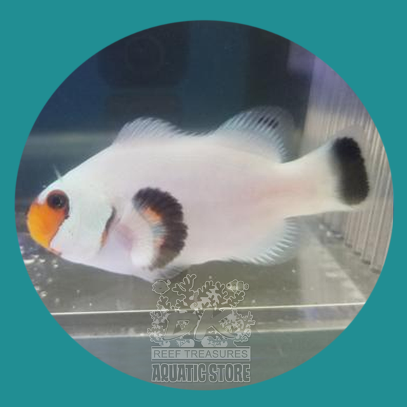 Wyoming White Clownfish - Captive Bred
