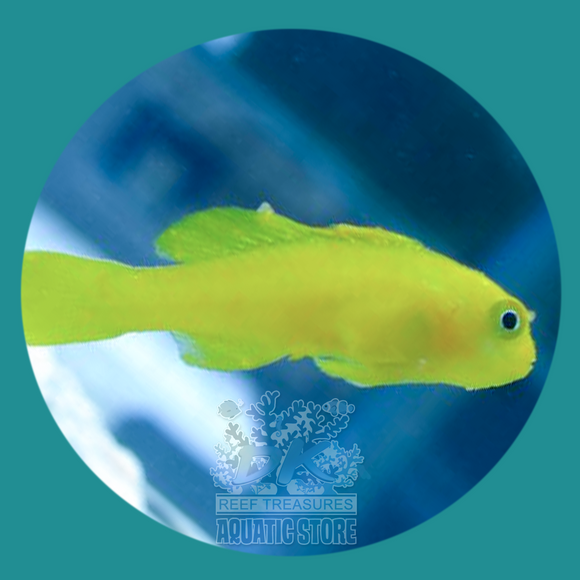 Yellow Clown Goby - DK Reef Treasures