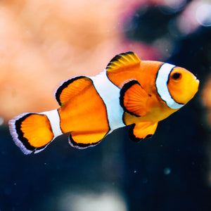 Orange Clownfish - Captive Bred - DK Reef Treasures