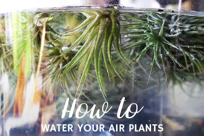 How to Water Your Air Plants