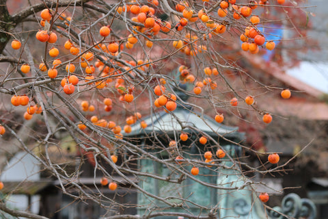 Japanese Persimmon Tree