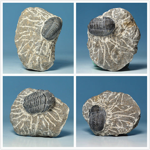 A Variety Of Moroccan Trilobite Fossils