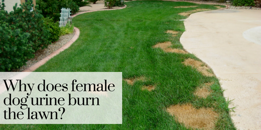 Why Does Female Dog Urine Kill The Grass?