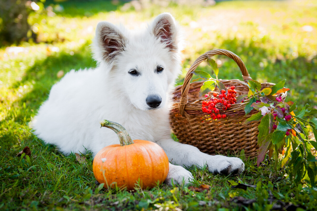 is pumpkin ok for dogs to eat
