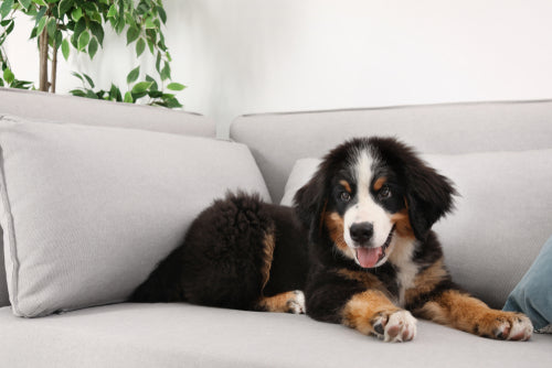 bernese mountain dog puppy on sofa