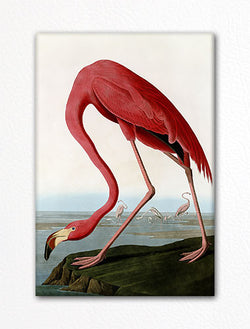 American Flamingo Audubon Illustration Fridge Magnet