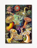 Ernst Haeckel Actiniae (Sea Anemone) Fridge Magnet