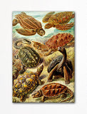 Ernst Haeckel Chelonia Turtles Fridge Magnet