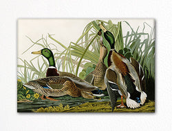 Mallard Duck Audubon Illustration Fridge Magnet