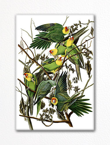 Carolina Parakeet Audubon Illustration Fridge Magnet
