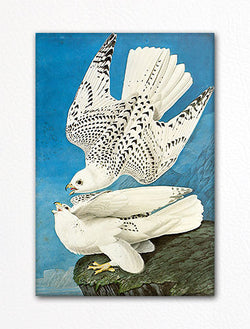 Gyrfalcon Audubon Illustration Fridge Magnet