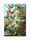 Ernst Haeckel Hummingbirds Fridge Magnet