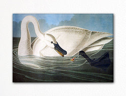 Trumpeter Swan Audubon Illustration Fridge Magnet