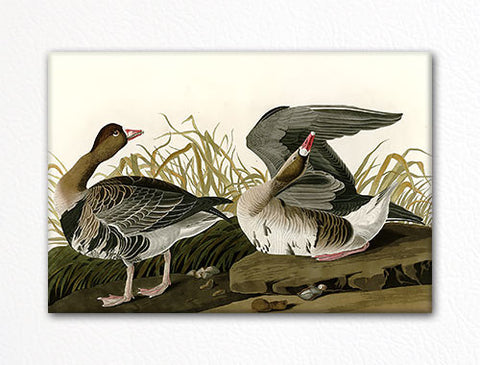 White Fronted Goose Audubon Illustration Fridge Magnet