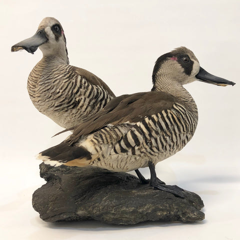 """Bill & Phil"" Taxidermy Pink Earred Ducks (Pair) PL10669 - Stranger.Things.Emporium, Taxidermy"