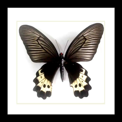 Single Framed Butterfly - Atrophaneura luchti. PL10672 - Stranger.Things.Emporium, Entomology