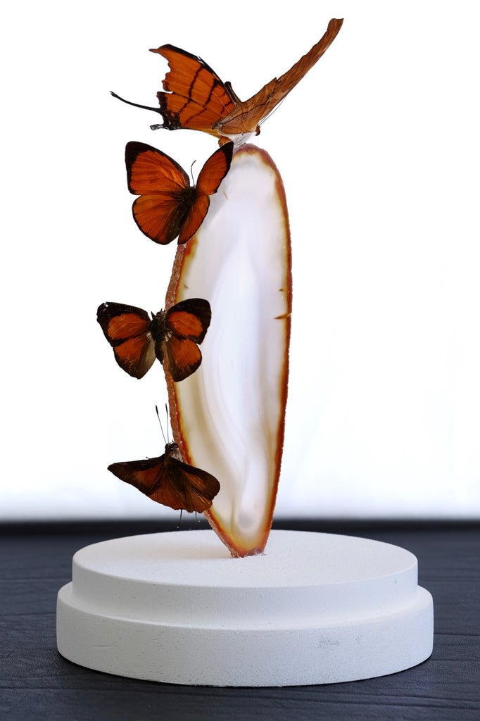 Butterfly Entomology Glass Dome by Violet Eyes Entomology - VE07 - Stranger.Things.Emporium, Entomology
