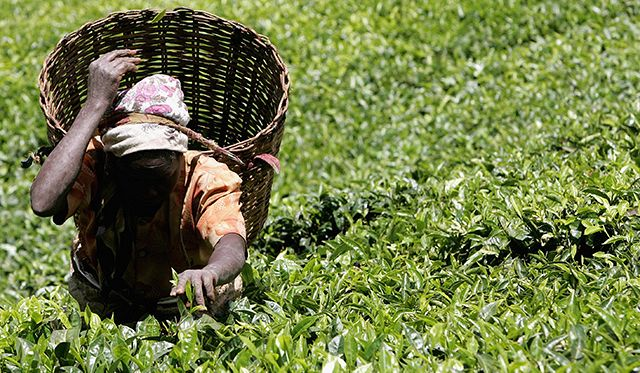 Kenyan Tea production