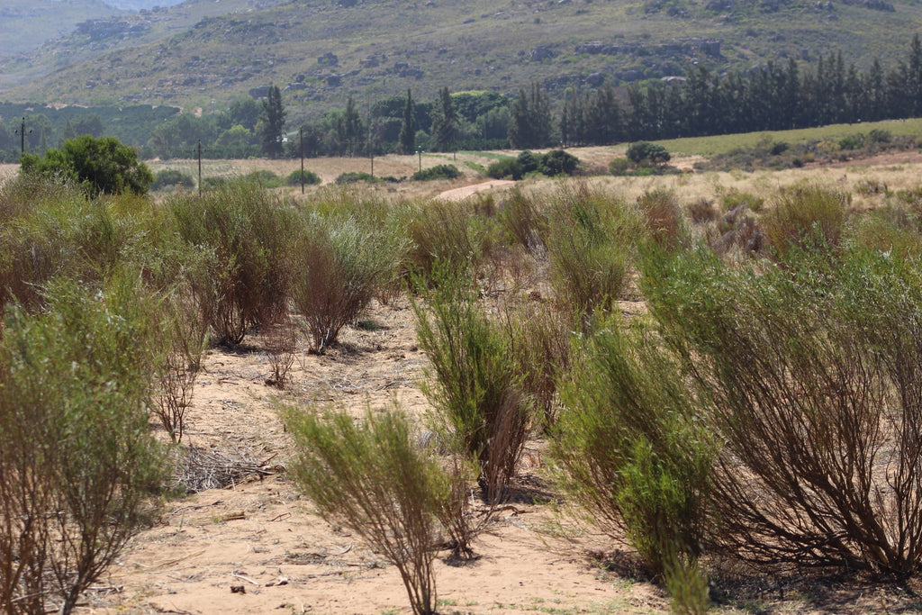 Rooibos Bush South Africa