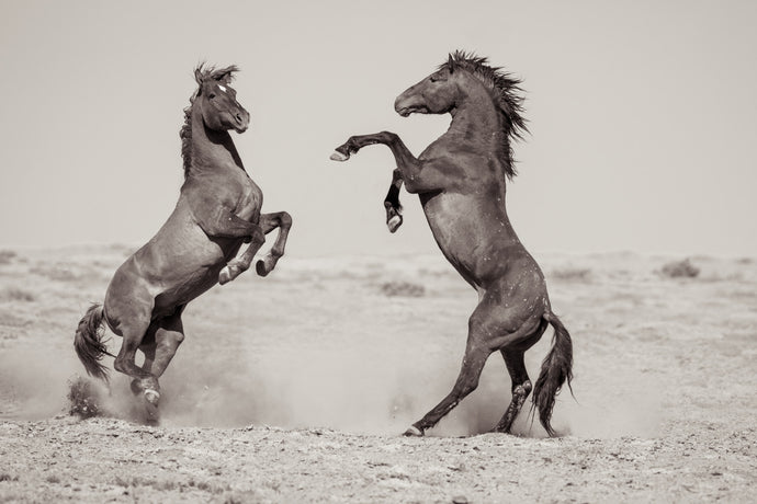 Great Divide - Wild Stallions in the Great Divide Basin, Wyoming, 2013