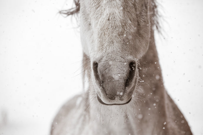 Icicles, Colorado Ranch Horse
