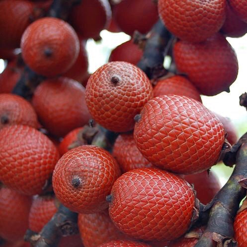 Why is Buriti Palm the Tree of Life?