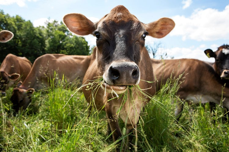 The Cost of Corn-Fed Cattle - Report by Wall Street Journal