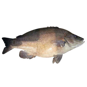 Farm Fresh Mangrove Grey Snapper (Frozen)