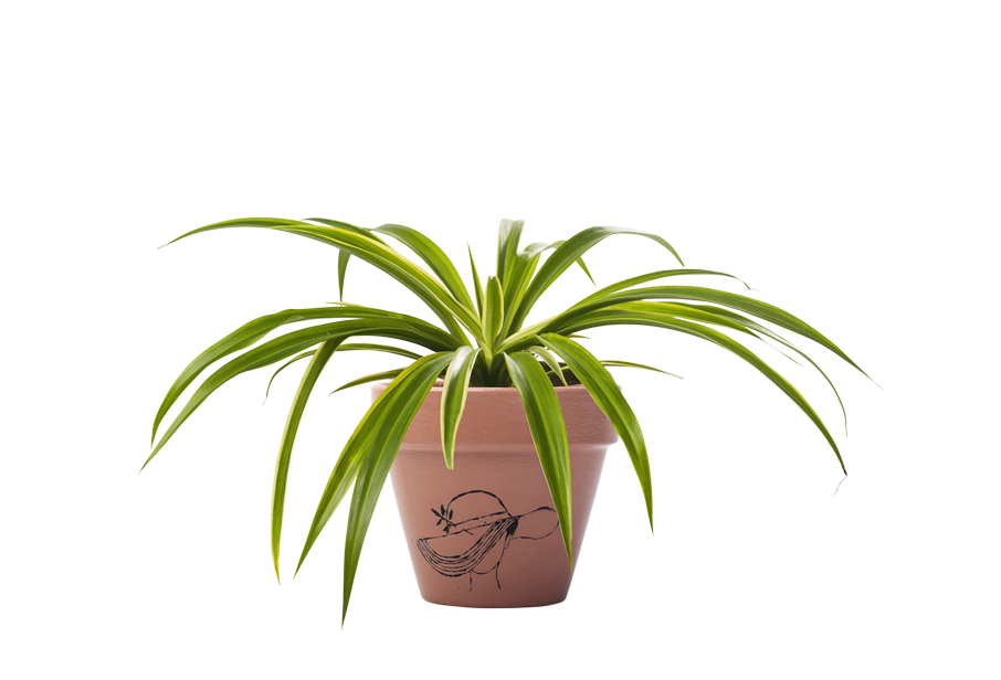 Chlorophytum - Handpainted Terracotta Pot - Outdoor/Indoor Plant