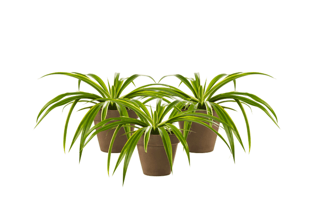 Chlorophytum Trio - Outdoor/Indoor Plant