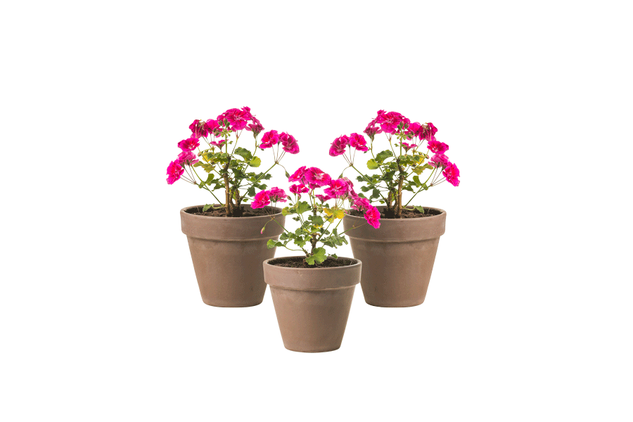 Geranium Trio - Outdoor Plant