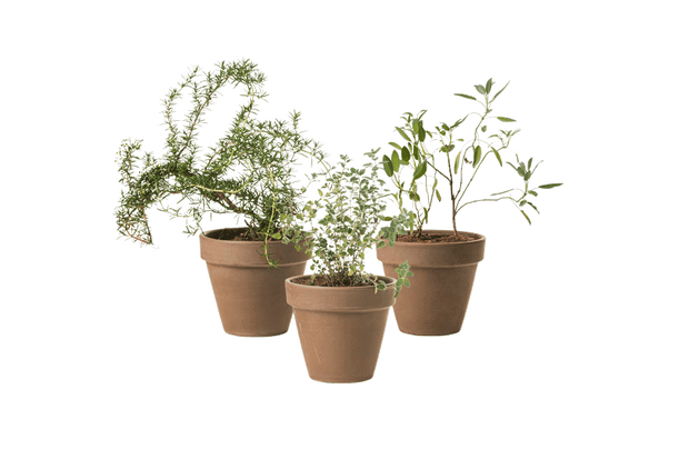 Trio Aromatic Herbs - Outdoor Plants