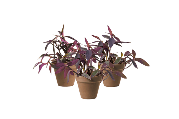 Setcreasea Trio - Outdoor Plant