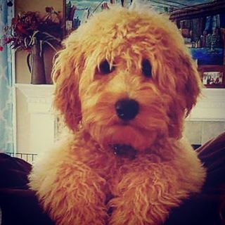 WOW, Goldendoodles and Labradoodles have other names? You have to see these!