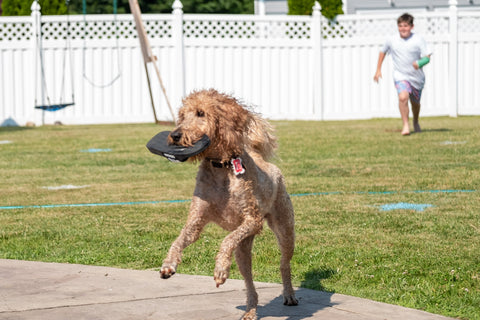Goldendoodle stealing shoes
