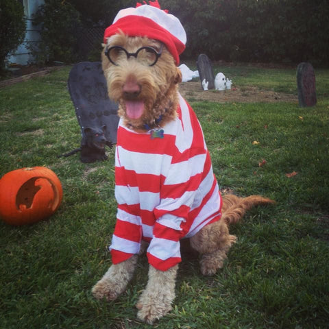Goldendoodle Halloween costume