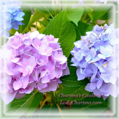 Hydrangea Flower Remedy