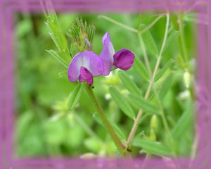 Vetch Flower Remedy