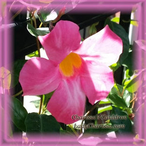 Mandevilla Flower Remedy