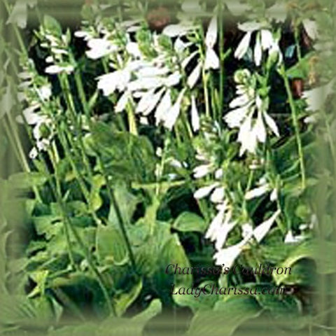 Hosta Flower Remedy