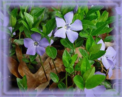 Vinca Major Flower Remedy