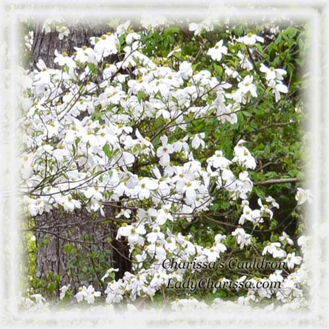 Dogwood Flower Remedy
