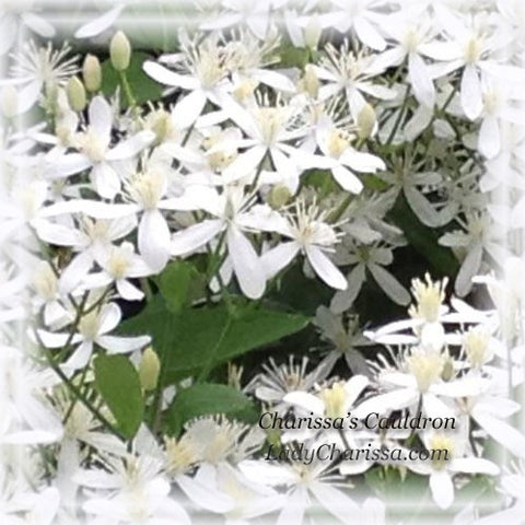Clematis Flower Remedy